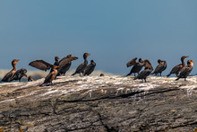 Group Of Cormorants Resting On The Rock