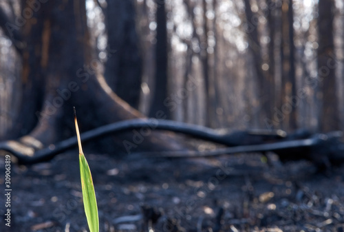 Fotografie, Tablou  A solitary blade of new grass, emerging from the charred, bare and blackened landscape, of bushfire ravaged forest
