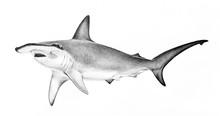 Hammerhead Shark Illustration....