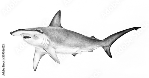 Obraz hammerhead shark illustration. hand drawn sketch of hammerhead shark swimming. Dangerous scary animal wildlife drawing. Powerful fierce symbol concept. Shark isolated on white background. - fototapety do salonu