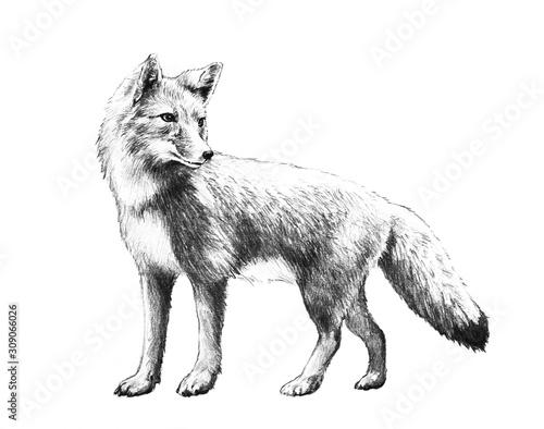 Fox sketch Canvas Print