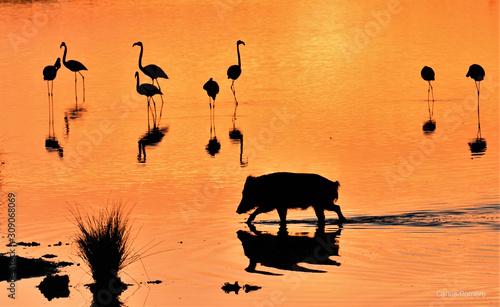 Photo Jabalí en la marisma de Doñana