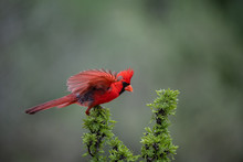 Cardinal On Roost