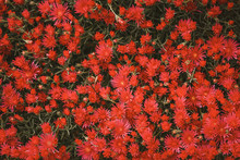 Pig Face Drought Tolerant Plant, Vibrant Bright Pink Flowers In A Cottage Garden