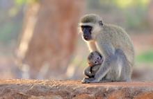 Vervet Monkey Mother Holds Her...