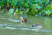 Giant River Otter Duo