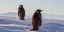 Emperor Penguin, McMurdo Station, Antarctica, Molting
