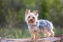 Cute Yorkshire Terrier Sitting...