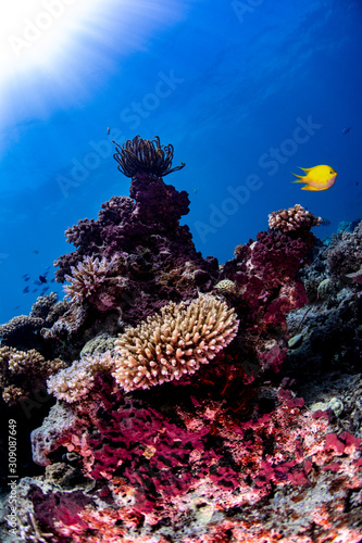 Photo A yellow chromis fish swimming over the reef in Fiji