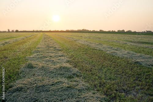 Photo alfalfa crop cut raked in rows