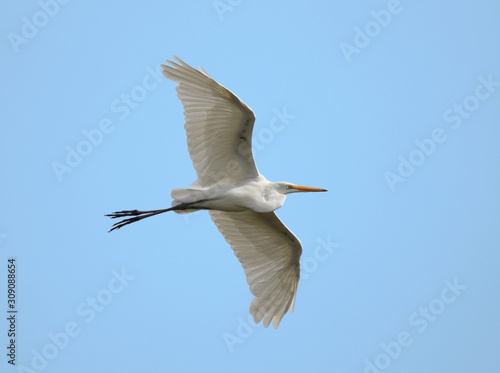 great white egret flying in a blue sky on a hot summer day Wallpaper Mural