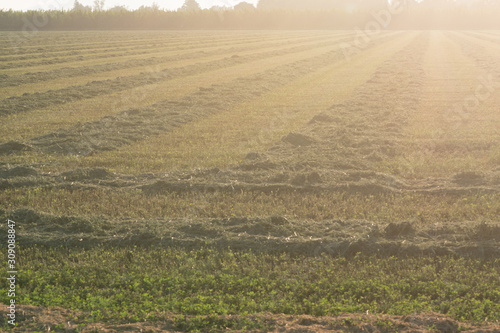 alfalfa crop cut raked in rows Canvas Print