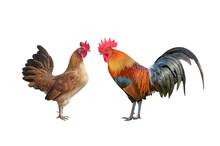 Rooster Bantam Or Hen,cock Sta...
