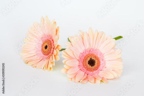 Pink fresh gerbera flower Wallpaper Mural