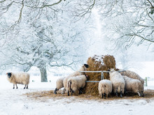 Sheep Feeding In The Snow In The North York Moors, England