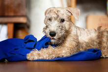 Irish Soft Coated Wheaten Terrier Puppy Indulges And Nibbles A Blue Towel