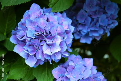 綺麗な紫陽花 Canvas Print