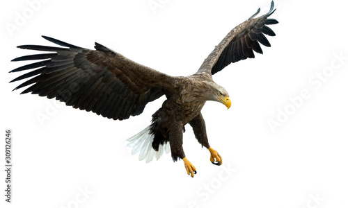 Adult White tailed eagle in flight Wallpaper Mural