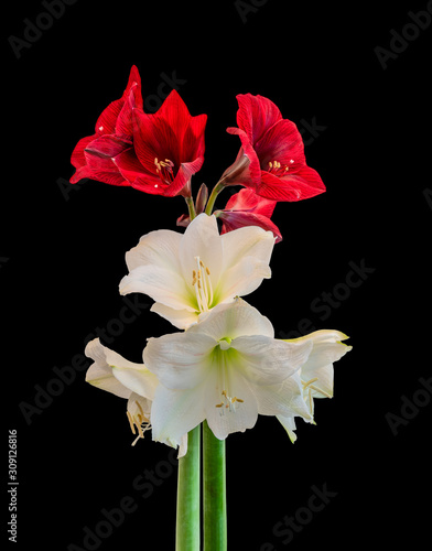Photo red white amaryllis pair with open blossoms,stem and buds,black background,fine