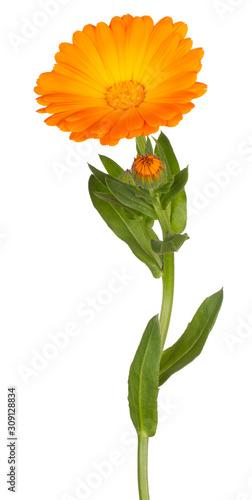 Obraz calendula flower isolated - fototapety do salonu