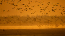 Flock Of Ducks Landing In Lake