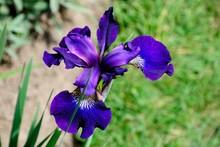 Wild Purple Iris Flower On The...