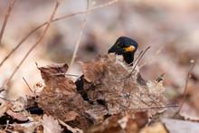 Common Blackbird Turdus Merula...