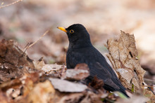 Common Blackbird Turdus Merula Young Male Standing On Ground On Old Foliage In Forest In Early Spring. Cute Dark Songbird In Wildlife.