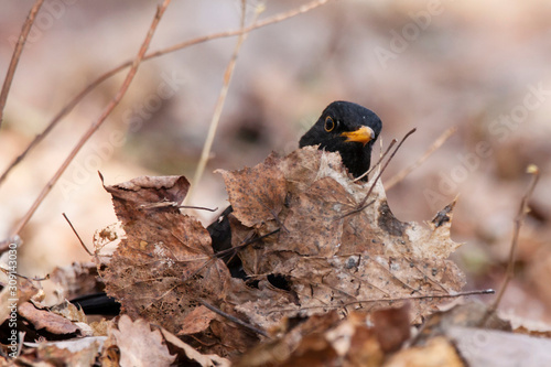 Photo Common blackbird turdus merula young male standing on ground on old foliage in forest in early spring