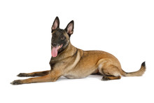 Pedigree Belgian Shepherd Dog ...
