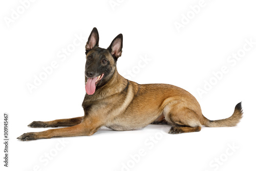 Fotomural Pedigree Belgian shepherd dog Malinois with his tongue hanging out lying on a wh