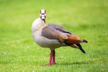 Egyptian Goose (Alopochen Aegy...