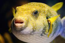 Yellow Balloon Fish Inflated I...
