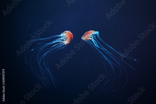 Photo Two jellyfish swimming at the bottom of the sea