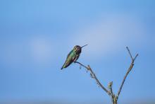 Hummingbird Perched On A Branc...