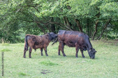 angus cattle Canvas Print