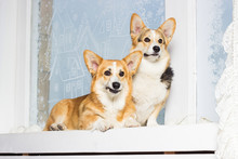 Two Welsh Corgi Dogs On The Wi...
