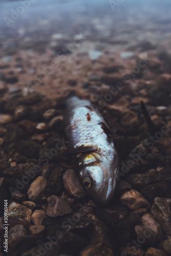 obraz dibond Dead fish on the lakeshore in misty morning