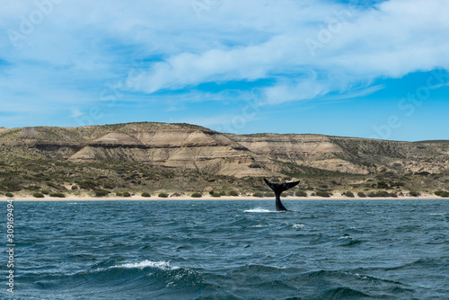 Fotomural  A South Right Whale flipping its tale at the Valdes Peninsula in Argentina