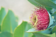Large Red Blossom Of The Australian Native Mottlecah, Eucalyptus Macrocarpa, Family Myrtaceae. Endemic To Western Australia. Flowers Are The Largest For The Genus.