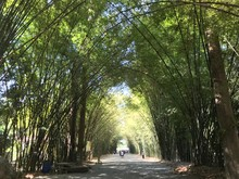 Bamboo Forest At Chulaporn Wanaram Temple