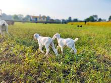 Two Cute White Nanny,kid,baby Goats Walking Grazing Field