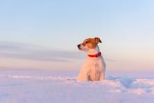 White Jack Russel Terrier Pupp...