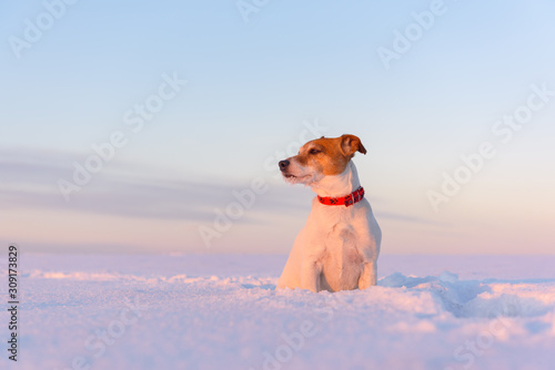 Obraz White jack russel terrier puppy on snowy field at sunrise. Adult dog with serious gaze - fototapety do salonu
