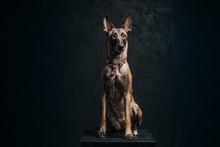 Belgian Malinois Shepherd Dog ...