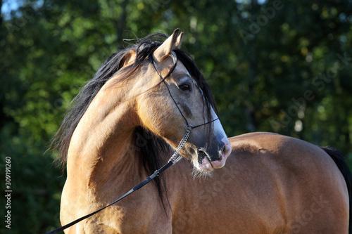 Fototapeta Paso Fino horse winner portrait in stud farm obraz