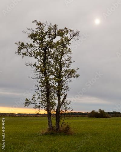 Fényképezés Aspen tree on a meadow