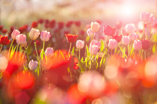Beautiful Bouquet Of Red And Pink Tulips In Spring Nature For Card Design And Web Banner. Selective Focus