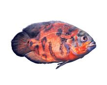 Beautiful Bright Oscar Fish On White Background