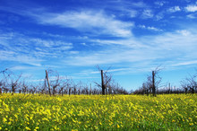 Winter Vineyard At South Of Portugal